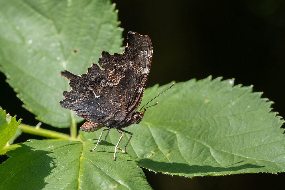 Close-up photo of Oreas Comma butterfly