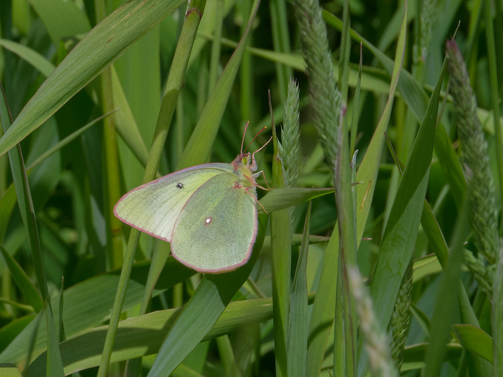 Photo of female Western Sulphur butterfly