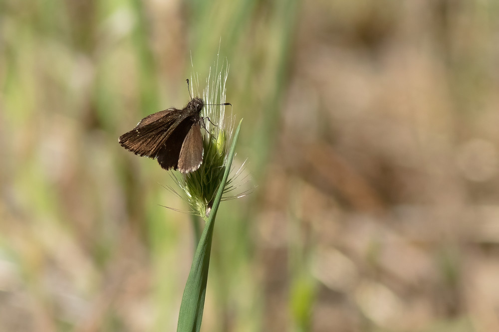 Close-up photo of Common Roadside Skipper butterfly