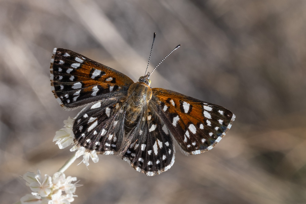 Close up photo of live adult Mormon Metalmark butterfly