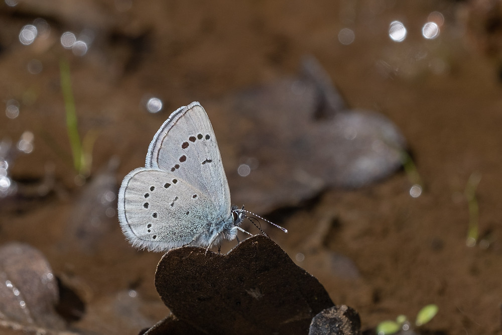 Photo of Silvery Blue (Glaucopsyche lygdamus) butterfly
