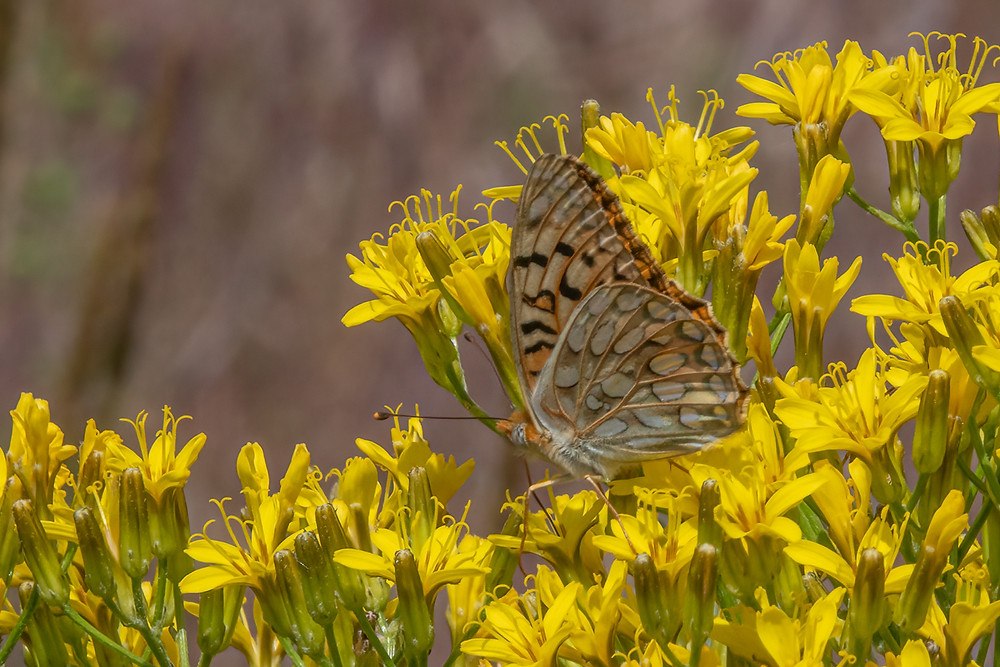 Close-up photo of live Coronis Fritillary butterfly