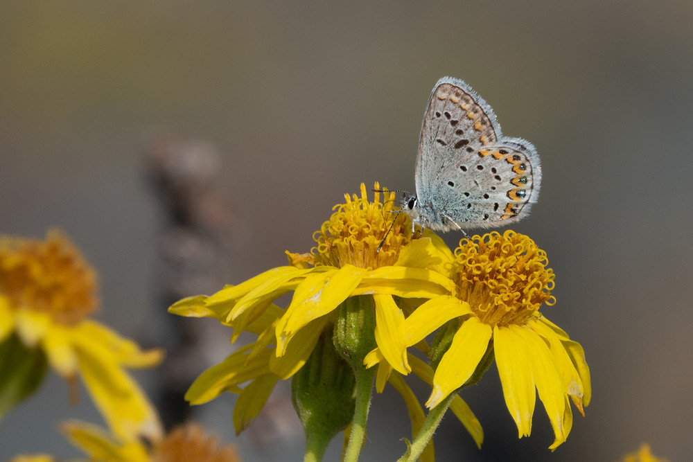 Close-up photo of Northern Blue butterfly