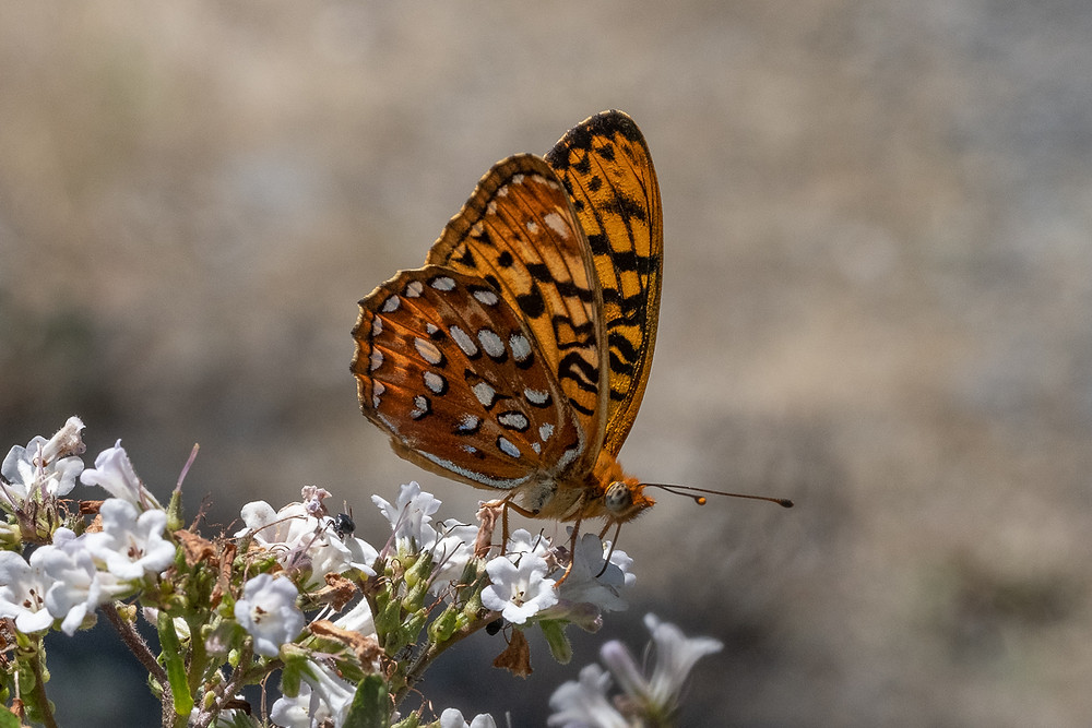 Close-up photo of a live Zerene Fritillary butterfly