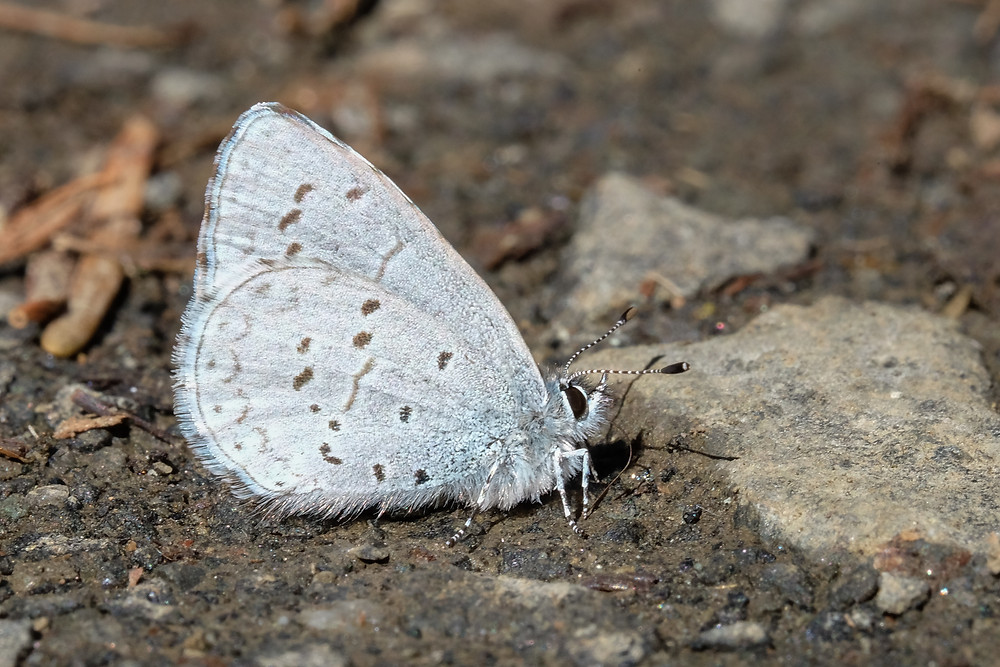 Close-up photo of Spring Azure, under side