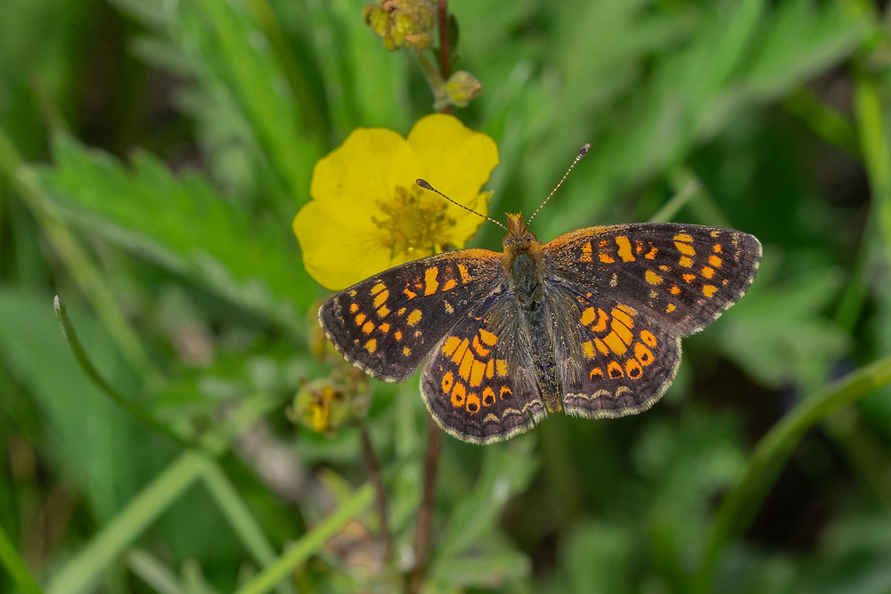 Photo of male Field Crescent butterfly