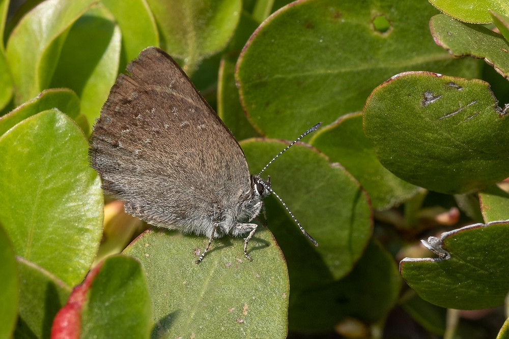 Close-up photo of Sooty Hairstreak butterfly