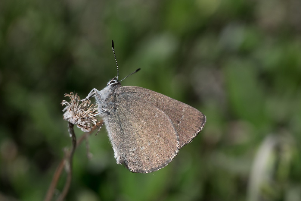 Photo of Sooty Hairstreak