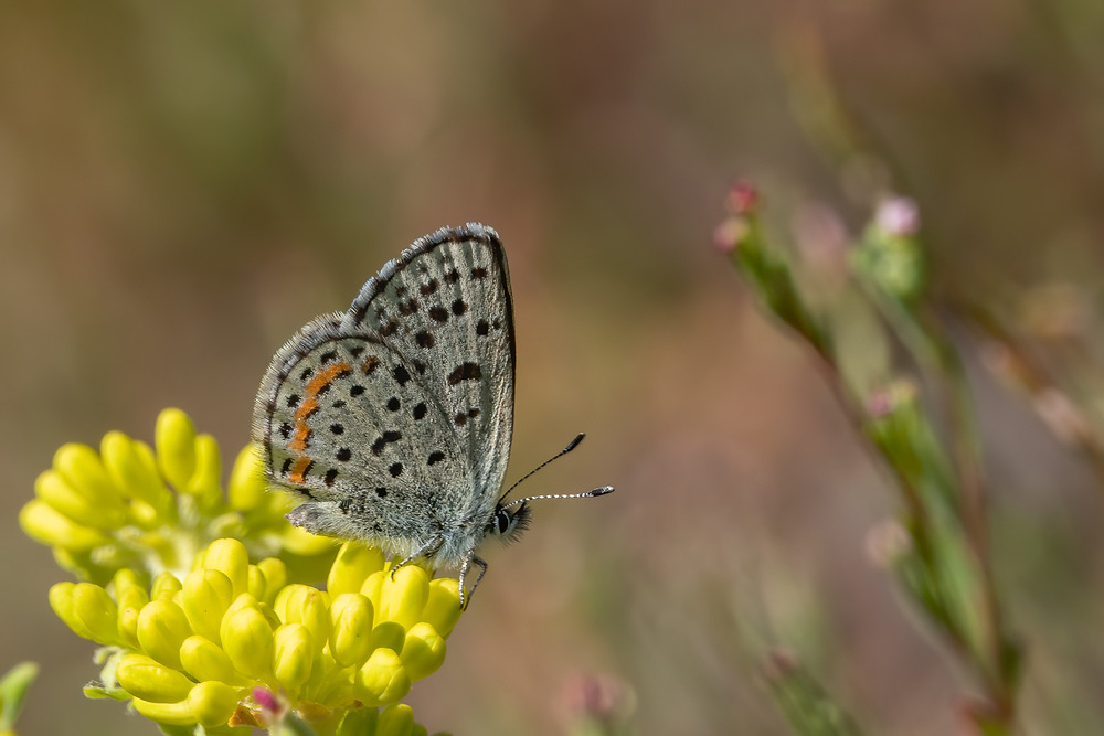 Close-up photo of Summit Blue butterfly