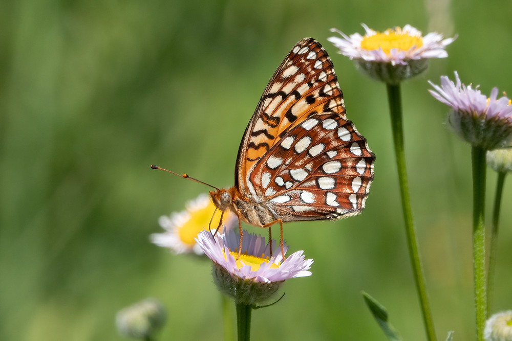 Close-up photo of adult Northwestern Fritillary butterfly
