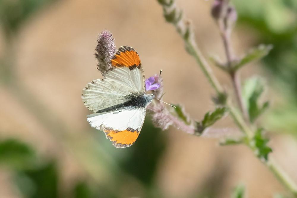 Close-up photo of  Sara's Orangetip butterfly