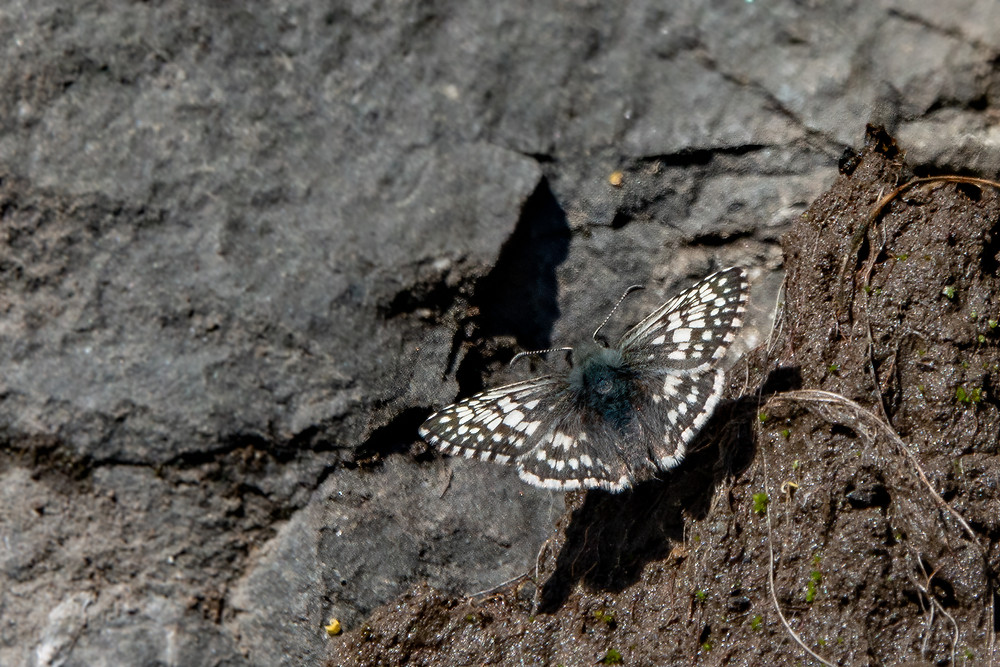 Photo of Common Checkered-skipper (Pyrgus communis) butterfly