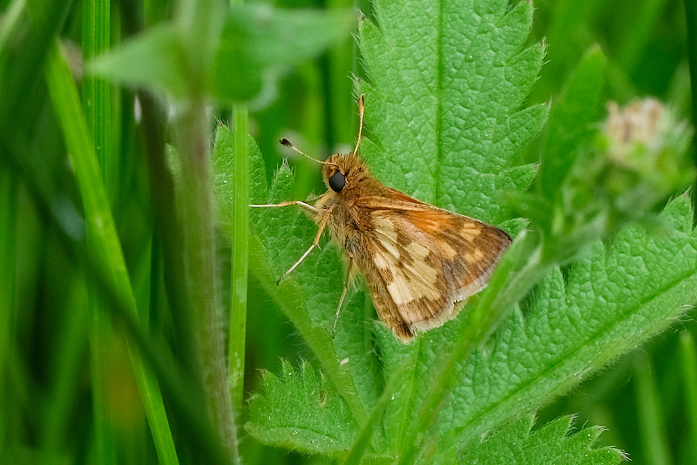 Close-up photo of adult Peck's Skipper butterfly