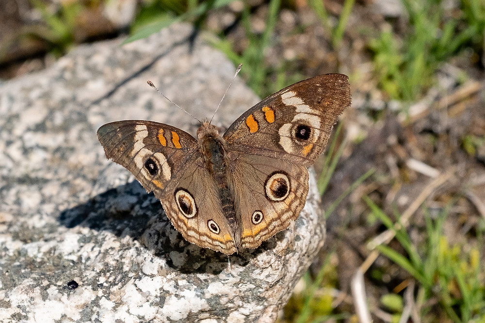 Close-up photo of Buckeye butterfly