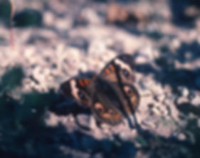 Image of Common Buckeye butterfly
