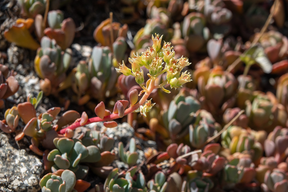 Photo of Cream Stonecrop