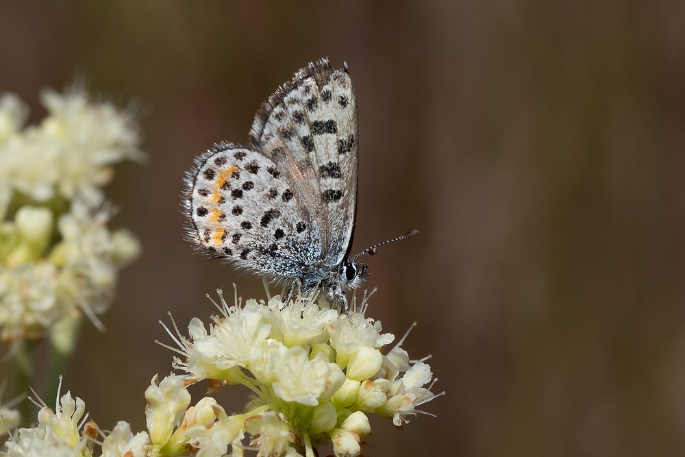 Close-up photo of live Cascadia Blue butterfly