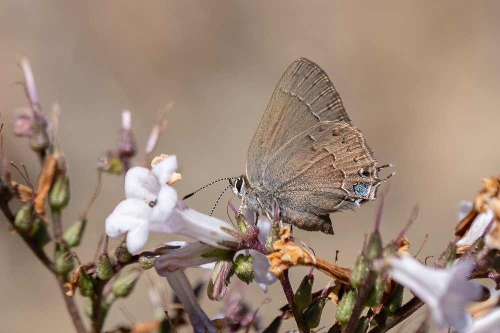 Close-up photo of Hedgerow Hairstreak butterfly