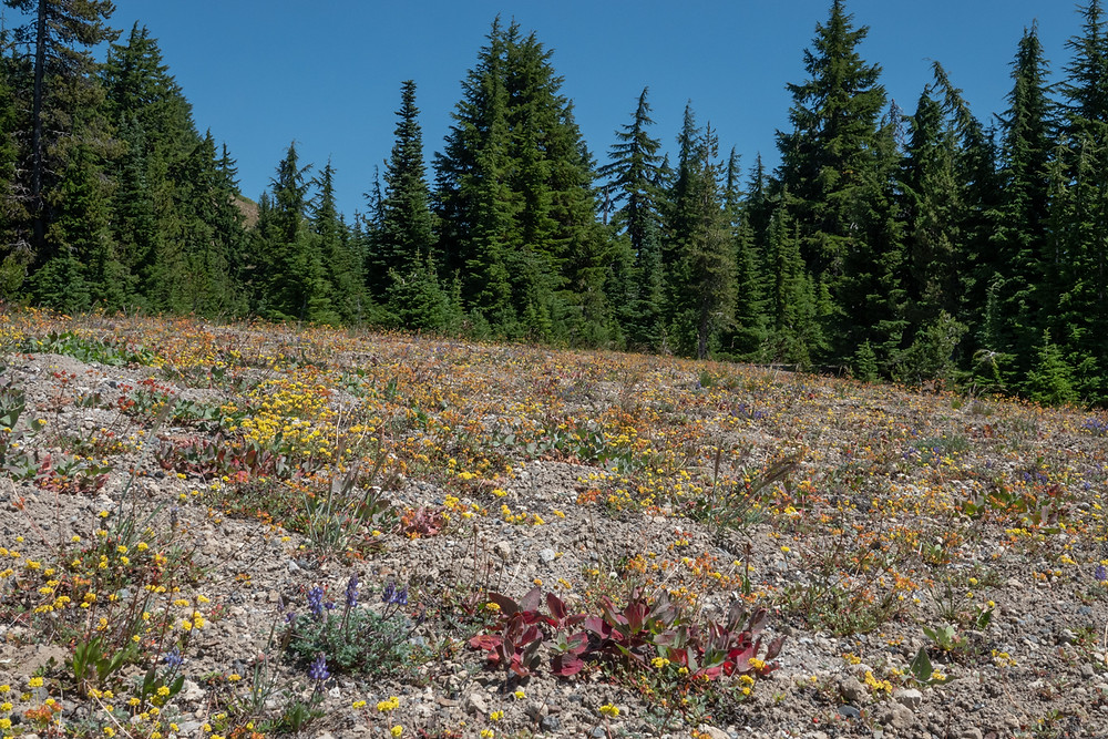 Photo of wildflowers at Wickiup Plan, Lane County, OR