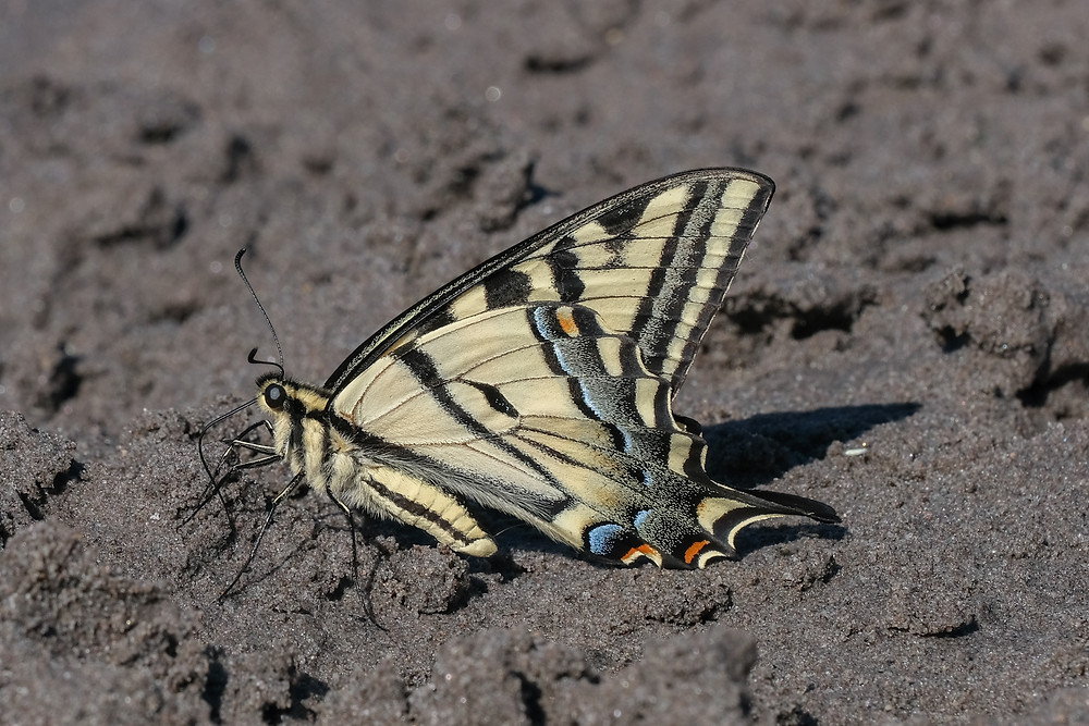 Close-up photo of an adult Western Tiger Swallowtail butterfly
