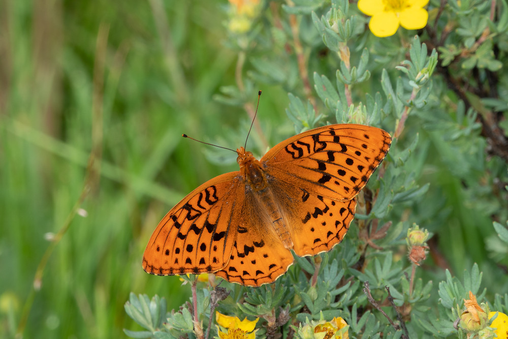 Close-up photo of adult Great Spangled Fritillary butterfly