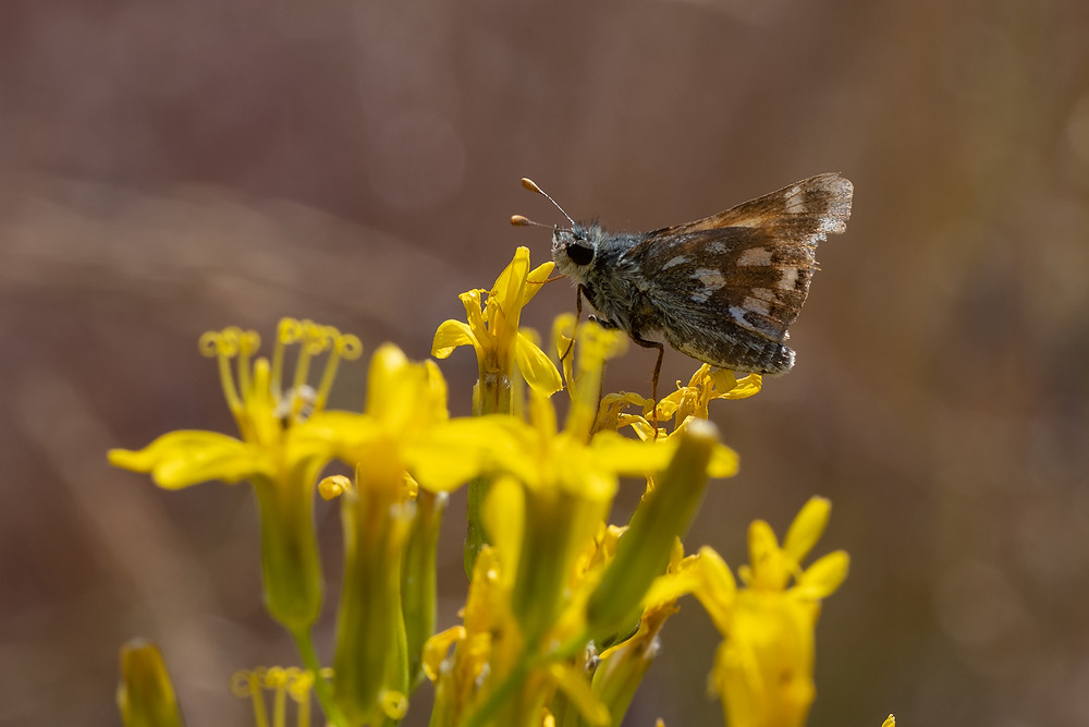 Close-up photo of live Nevada Skipper butterfly