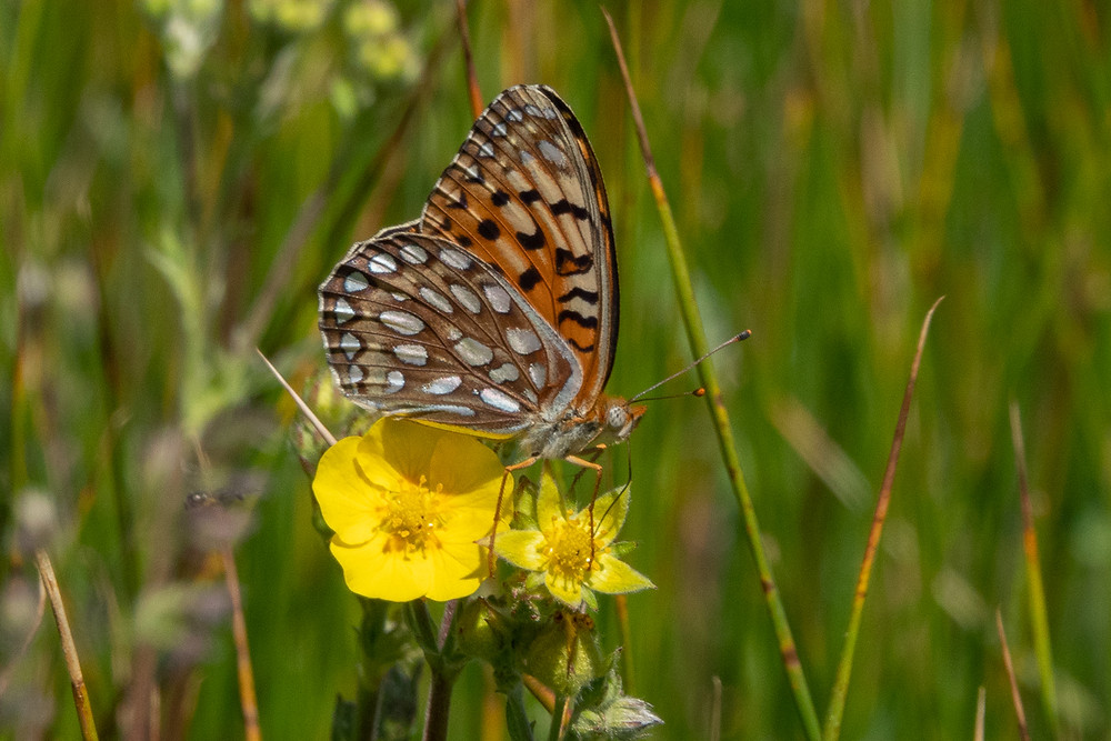 Close-up photo of Coronis Fritillary butterfly