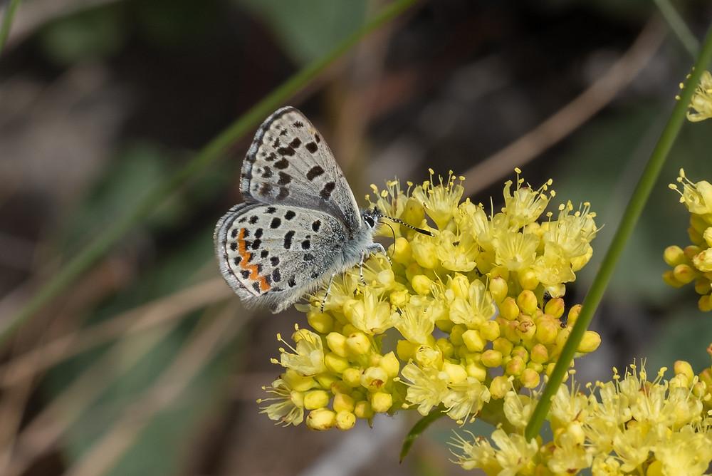 Photo of Columbian Blue (Euphilotes columbiae)