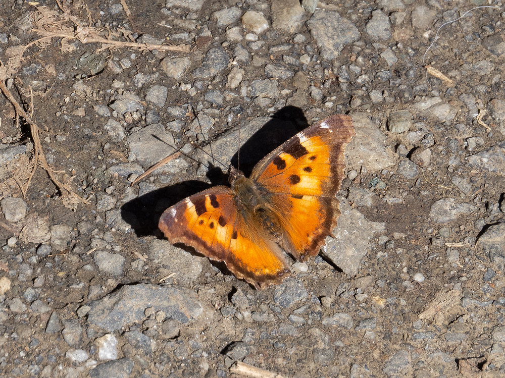 Close-up photo of California Tortoiseshell, upper side