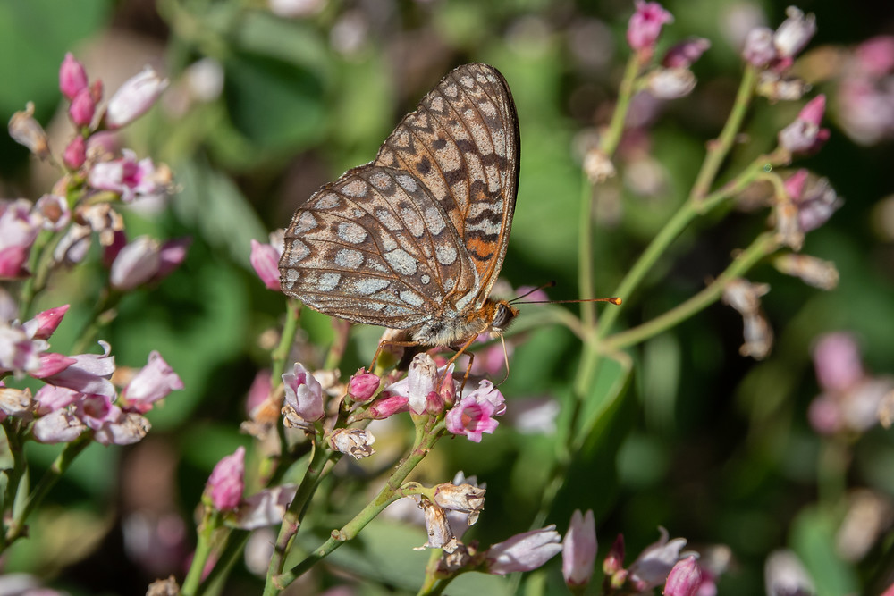 Close-up photo of adult Callippe Fritillary butterfly