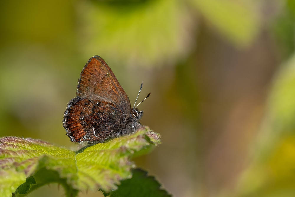 Photo of Moss's Elfin butterfly (Callophrys mossii)