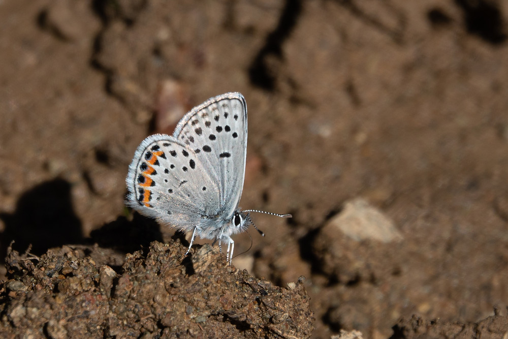 Color photo of Acmon Blue butterfly