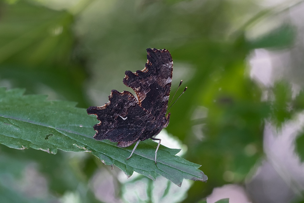 Close-up photo of live Oreas Comma butterfly