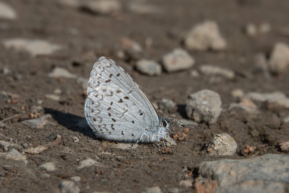 Photo of Spring Azure (Celastrina echo) butterfly