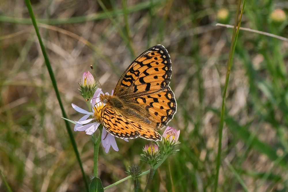 Close-up photo of adult Mormon Fritillary butterfly