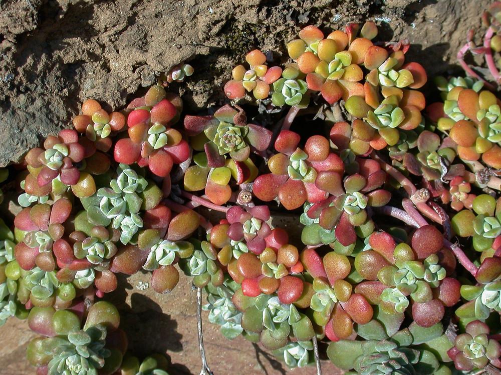 color image of Oregon stonecrop (Sedum Oreganum)