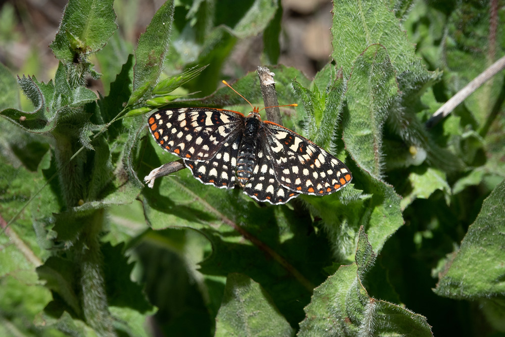 Color photograph of Euphydryas Checkerspot butterfly