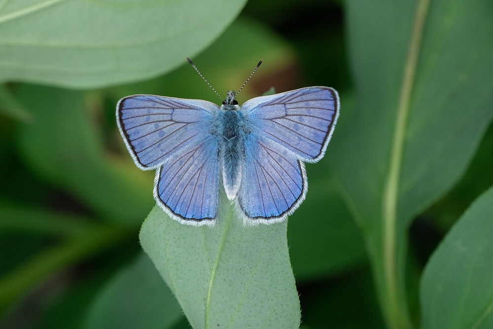 Photo of male Blue Copper butterfly