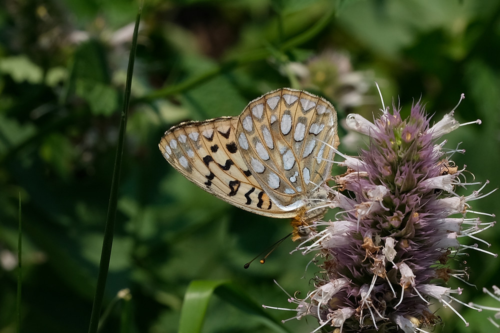 Close-up photo of Callippe Fritillary butterfly