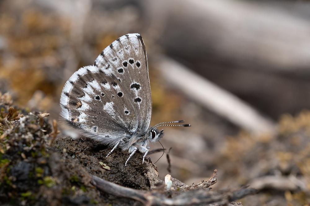 Photo of Arrowhead Blue (Glauchopsyche piasus)