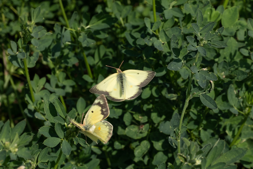 Photo of male and female Clouded Sulphur butterflies
