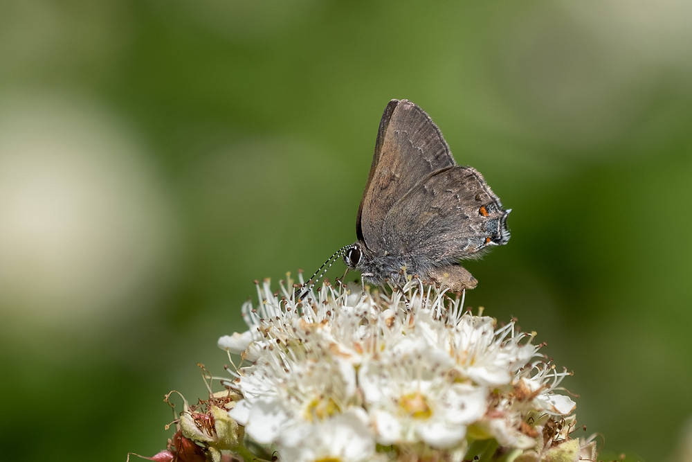 Color photo of Gold-hunter's Hairstreak butterfly