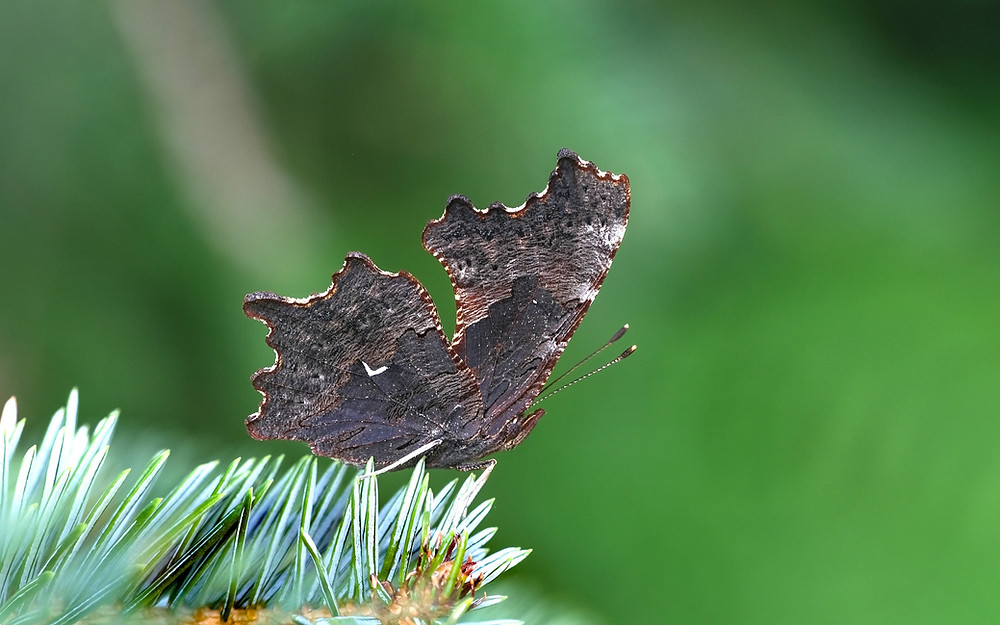 Close-up photo of adult Oreas Comma butterfly