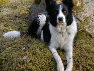 Pecka pratar hund