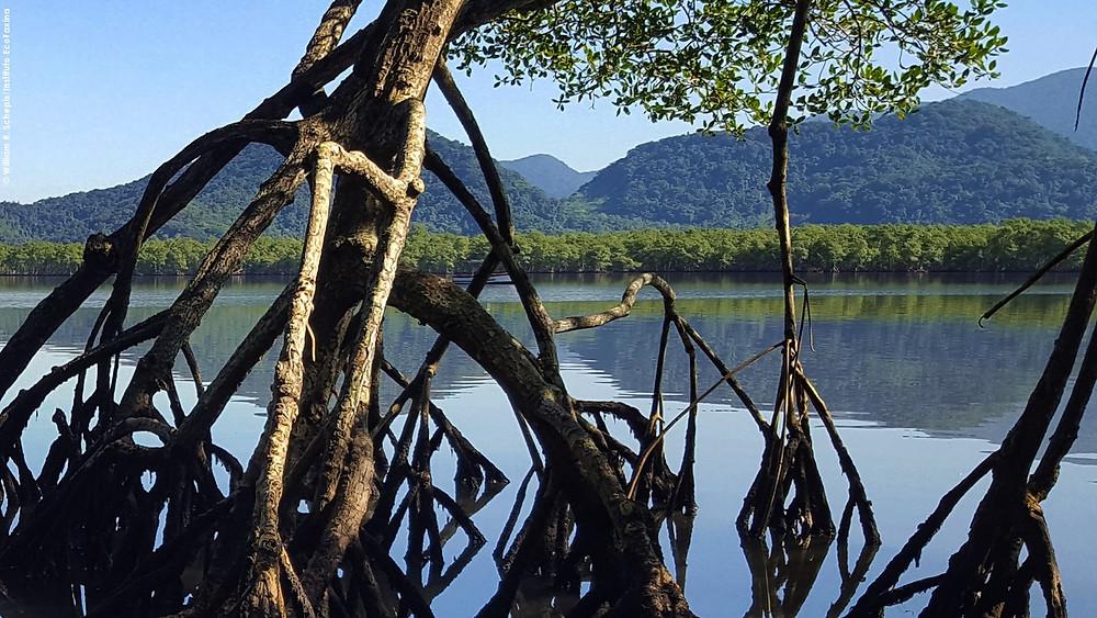 Manguezal da APA Serra do Guararú, em Guarujá. Crédito: William R. Schepis/Instituto EcoFaxina