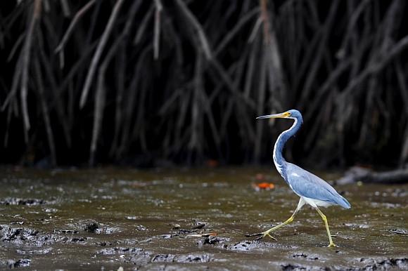 Garça Tricolor (Egretta tricolor) caminhando pelo manguezal em busca de pequenos invertebrados. CC