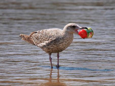 Aves comem plástico no oceano porque sentem 'cheiro de alimento'