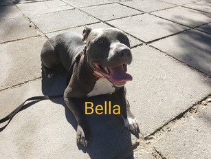 Bella | Pit bull | Santa Clarita, Ca In-Training