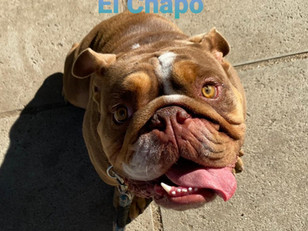 El Chapo De Churro | English Bulldog | Lakewood, Ca