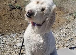 Marley   Goldendoodle   Encino, CA - In Training